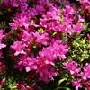 「佐久の季節便り」、「ツツジ(躑躅)」の花が似合う、「夏日」に…。