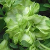 ペチュニア 緑色の花