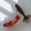 (イノフェス魚)池田さんの江戸地金。