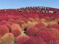 赤い絶景!天まで続く赤い絨毯「コキア」