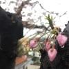 お花見が雨の場合で中止に。でも雨の桜も絵になる