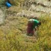 ネパ-ル滞在日記 第43回 ネパ-ル・カトマンドゥの稲刈り ダサイン大祭後はカトマンドゥの稲刈り
