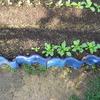 【家庭菜園】小カブの間引きをしました