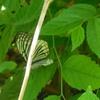 アカボシゴマダラ 春型 & ホタルブクロに蜂