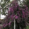 ネパ-ルの樹木と花 第6回目