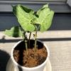作った植木鉢で植物を栽培する話②