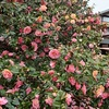 地蔵院(椿寺)のツバキ2020。見頃や開花状況。