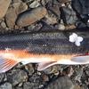 多摩川でマルタウグイを釣ろう