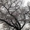 千鳥ヶ淵ですお花見20190329
