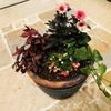 チェッカーベリー・プチダリア・イレシネ・サンブリテニアの寄せ植えはほっこりしたした雰囲気に仕上がりました