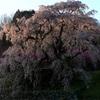 本郷瀧桜の夜明け。