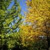 【必見】国立昭和記念公園 銀杏並木の紅葉が見頃!