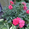 2014/06/25 まだ一番花が咲いているツベルゲンフェー09 葉も照り照り!!