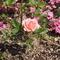 ミニバラ咲いた。母の日にもいい感じ