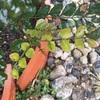 #26 シマトネリコ 枯葉と新葉