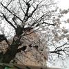 桜、ほぼ満開