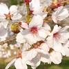 桜の花を見るだけのお花見