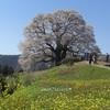 満開の醍醐桜 🌸