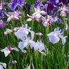 堀切菖蒲園・色な場所の思い出・紫7…