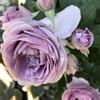 バラの開花と新生活