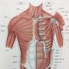 筋肉体操 腕立て伏せ(2)がどの筋肉に効いているのか検証 インターミッテントプッシュアップ