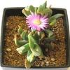エブラクテオラの花