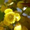 ヒイラギナンテンの花 2013