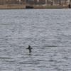 波崎漁港内を飛び去っていくハシボソミズナギドリ