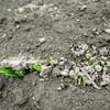 玉ねぎ・にんじんの発芽