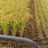 稲刈りからの供出米の巻