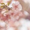 予定詳細:4/5(月)|散りゆく玉串川の桜並木を歩く