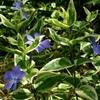 斑入りツルニチニチソウ 花