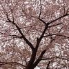 🌸帰宅中に桜を撮影しました