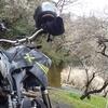 【ツーリング】久々にバイクに乗って月ヶ瀬に梅を見に行ってきた!