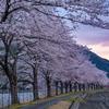 滋賀・朽木 - 朽木大野の桜並木