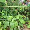 十六ささげとか5/10種蒔き、定植のその後