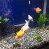 金魚、本日産卵!