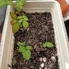クサイチゴ(草苺)を植えて1か月経過しツボミがつきました。