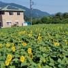 向日葵500株開花