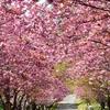 春の日差しと八重桜、石崎地主海神社…