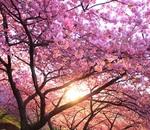 西平畑公園(松田山ハーブガーデン)で満開の河津桜と菜の花の競演!