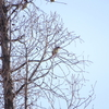 靱公園にヒレンジャクの群れ(靭公園探鳥2019/10/29-2020/02/04)