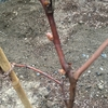 一冬越したブドウの木から蕾が