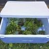 盆栽の冬季保護