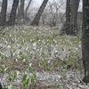 胎内市地本の低湿地帯に群生するミズバショウ2013(0331)