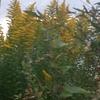 セイタカアワダチソウが咲いてきたね