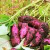 サツマイモ基腐病に感染恐れのベニアズマの苗出荷!千葉県15市18店で販売店名!