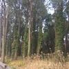 相賀松原の松の木が
