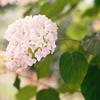 白い紫陽花(秋田県秋田市)