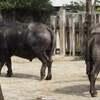 安佐動物園水牛、クロサイ